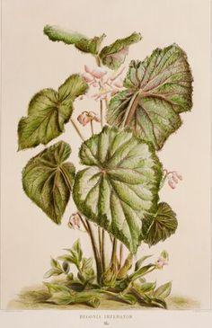 Begonia Series, 2