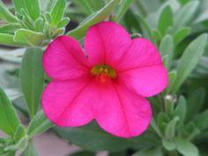 Hot pink calibrichoa (million bells)