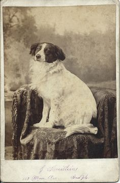 1890s cabinet card of beautiful dog in photographer's studio.  Photo by John Kreitlein, 113 Mass Ave, Indianapolis, Indiana. From bendale collection