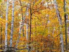 Stock Photography of Birch Trees Fall Scenery