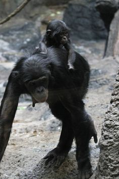 Bonobos by Mark Dumont Monkey 3, Cincinnati Zoo, Primates, Black Bear, Adorable Animals, Safari, Creatures, Heart, Rompers