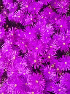 Purple Ground Cover Delosperma Ice Plant Coronado California by Sharon French -  Photograph - Fine Art Prints Throw Pillows Phone Cases and Posters for Sale