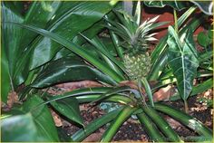 Pineapple Plant at the North Carolina Zoo