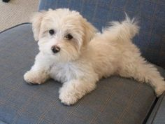 Pin by Tracy Schmidt on Random Havanese Puppies, Cute Puppies, Cute Dogs, Dogs And Puppies, Cockapoo, Doggies, Goldendoodles, Maltipoo Haircuts, Dog Haircuts