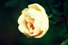 Ruusu / Rose