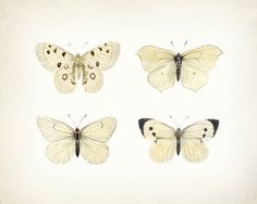 Four beautiful antique pastel butterflys, adapted from an antique illustrations, digitally enhanced and printed onto a lightly tinted