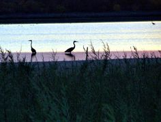 Heron at sunset - Lake Wichita, Wichita Falls, Texas 11/03/2012