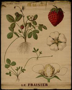 Le fraisier - Deyrolle