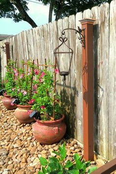 gorgeous potted mandevilla along fence