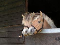 Fjord horse yearlings
