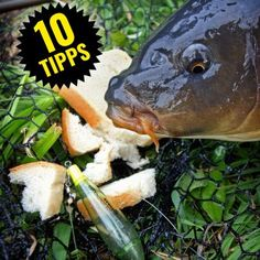 Tipps zum Angeln mit Schwimmbrot Tips for surface fishing with bread Fly Fishing Basics, Fishing 101, Fishing Knots, Gone Fishing, Carp Fishing, Best Fishing, Fishing Tackle, Live Bait, Fly Fishing