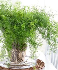 Asparagus aethiopicus 'Sprengeri' ~ Sprenger's Asparagus Fern - This is an annual fern like plant. These have a soft, delicate like appearance, and can reach heights to ft. Water Plants, Water Garden, Plants Toxic To Dogs, Decoration Plante, Fern Plant, Horticulture, Foliage Plants, Easy Garden, Garden Web