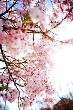 Spring Blossoms in Victoria - Victoria British Columbia | @Tourism Victoria