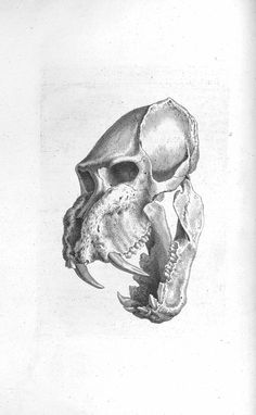 BIU Santé -anatomy of bones Crane, Anatomy Bones, Small Skull, Body Mods, Skeletons, Natural History, Drawing Reference, Vintage Prints, Laser Engraving