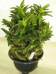 Kirinmaru Kirinmaru is a bean leaf variety. This stunning specimen plant was exhibited at the 2010 Japan Grand Prix. Japan Grand Prix, Mini Orquideas, Terrarium Diy, Orchidaceae, Unique Plants, Golden Star, Container Gardening, Garden Plants, Natural
