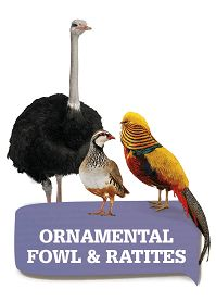 Ornamental birds and ratites