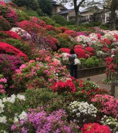 Nezu Shrine Azalea Festival from mid-April till the end of Golden Week (1st week of May) is a beautiful landscape of ancient Japanese temple buildings
