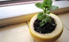 Limon Kabuğunda Bitki Yetiştirin