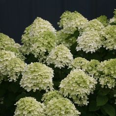 A dwarf form of 'Limelight' Hydrangea. Fresh, lime green flowers commence the summertime bloom extravaganza of our Little Lime Hydrangea shrub. These flowers will change to white and then age to a nice pink into fall. These fall blooms work well in dried flower arrangements (Blooms July-September).