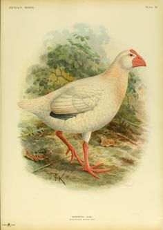 Lord Howe Swamphen (early 19th century): A large bird endemic to Lord Howe Island, Australia. Its plumage was white, sometimes with a few blue feathers, and was probably flightless. The bird was hunted to extinction by whalers and sailors.