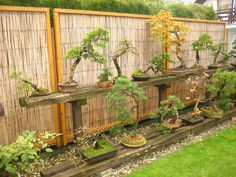 Rustic shelf display for Bonsai (I also like the bamboo screen panels as a background) {<3} from Maros Bonsai Blog (Lukas and Josef Sirotny garden)