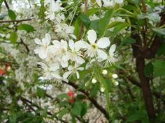 Вишня. © Кузнецова А. В. (http://silent-gluk.livejournal.com/). #Cherry #Cherries