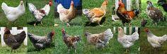 Natural Chicken Keeping: Breed Overview - Skånsk Blommehöns - The Swedish Flower Hen