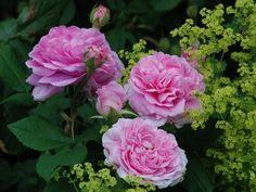 Roser med gammeldags charme hele sommeren. MP Havedesign
