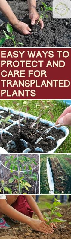 How to Care for Transplanted Plants Transplanting Plants Seed Starting Seed Starting Tips and Tricks How to Start Seeds Easy Ways to Start Seeds Caring for Your Garden Garden Care Tips and Tricks Garden Care, Organic Fertilizer, Organic Gardening, Sustainable Gardening, Indoor Gardening, Gardening For Beginners, Gardening Tips, Flower Gardening, Transplanting Plants
