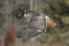 red tail hawk in flight (adult) Winning Lottery Numbers, Red Tailed Hawk, Bird Feathers, Dolphins, Ontario, Drums, Fun Stuff, Butterflies, Past