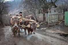 """Képtalálat a következőre: """"cattle"""" Visit Romania, Winter Scenery, European History, Beautiful Places To Visit, Holidays And Events, Country Life, Cattle, Old Photos, Animals And Pets"""