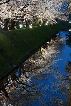 金沢城 内堀のさくら(ライトアップ) 石川県金沢市 Sakura of Kanazawa Castle inner moat (light up) Kanazawa, Ishikawa Prefecture