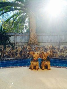 Post | A community of Yorkshire Terrier lovers! #yorkshireterrier