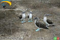 Tour Isla de la Plata Machalilla Ecuador En nuestro tour a la Isla De La Plata conocida tambien como la pequeñas Galapagos por su gran parecida biodiversidad,podremos observar a los famosos piqueros de patas azules , te invitamos a que disfrutes con tus amigos y familiares.