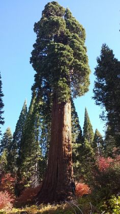 Top 10 Fastest Growing Trees in the World - Once you think about trees, there's a tendency to think of them as slow things. But, did you know that there are some trees that grow fast? Giant Tree, Big Tree, Conifer Trees, Trees And Shrubs, Sequoia Sempervirens, Nature Sauvage, Fast Growing Trees, Unique Trees, Old Trees