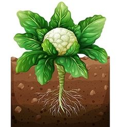 Potatoes plant under the ground Royalty Free Vector Image Garden Trees, Trees To Plant, Easy Crafts For Kids, Diy For Kids, Kreative Jobs, Free Vector Images, Vector Free, Fruit Crafts, Fruit Picture