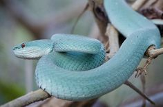 Komodo Island Pit Viper. Also known as the white lipped tree viper. The blue color is a natural morph of the species.