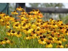 """Helenium """" Fatamorgana """" - záplevák Zahradnictví Krulichovi - zahradnictví, květinářství, trvalky, skalničky, bylinky a koření Butterflies, Garden, Plants, Garten, Lawn And Garden, Butterfly, Gardens, Plant, Gardening"""