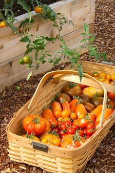 You searched for corn pasta - The Farm Chicks Container Gardening Vegetables, Planting Vegetables, Vegetable Garden, Veggies, Freezing Tomatoes, Canning Tomatoes, Easy Pasta Sauce, Spaghetti Sauce, Tomato Vine