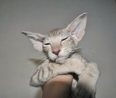 Rare Russian Peterbald cat.
