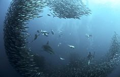 The great sardine run: dolphins, sharks, whales and birds competing underwater for fish.