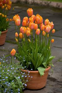 Growing bulbs in pots - Plant a lot of bulbs at different, overlapping levels. You can easily put 20-30 bulbs, sometimes even more, into a pot that is 14–20 inches across. Use bulbs of many different sizes for an interesting display and longer seasonal appeal.