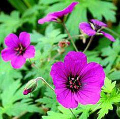 alle planten in voorraad bij kwekerij Bastin, je kunt ze hier online bestellen of op de kwekerij kopen (geranium)