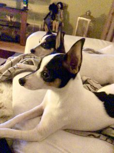 What's on tv Toy Fox Terriers, Boston Terrier, Tv, Dogs, Animals, Animais, Animales, Animaux, Television Set