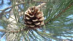 Pine needle tea: Fortify yourself with this unusual cancer-killer and all-around health tonic