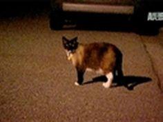 The Klepto Kitty   The Animal Rescue Site Blog