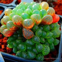 What's the Most Mind-Blowing Plant in the World? - Show & Tell - Atlas Obscura Community - Travel Forum Succulent Seeds, Rare Succulents, Planting Succulents, Planting Flowers, Succulent Plants, Cacti, Unusual Plants, Exotic Plants, Exotic Flowers