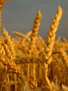 wheat fields are my favorite! the yellow tassles & blue skies are the perf color combo.