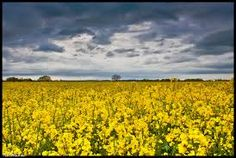 Image result for rapeseed field Rapeseed Field, Breathe, Vineyard, Concept, Outdoor, Image, Ideas, Nature, Outdoors