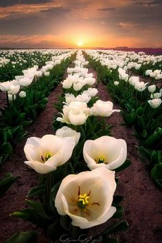 Beautiful Picture Of Nature Amazing Flowers, Beautiful Flowers, Beautiful Places, Wonderful Places, Beautiful Sunset, Simply Beautiful, Tulip Fields, Green Fields, All Nature